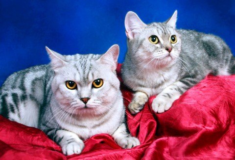 Welcome to BLUECREST CATTERY